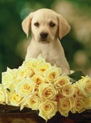 6417 Thank You Card - Dog & yellow roses (Pack of 50)